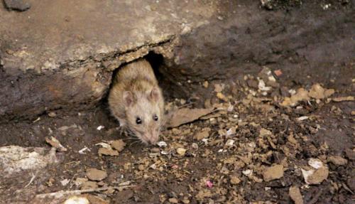 Как защитить дом от мышей.  Грызуны – вечные спутники человека