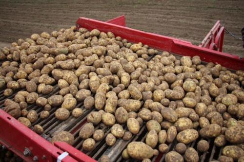 Янка картофель описание сорта. Описание