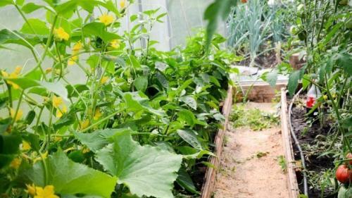 Можно ли выращивать огурцы и помидоры в одной теплице. Можно ли сажать огурцы с помидорами в одной теплице