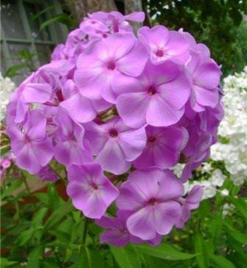 Как правильно и красиво посадить многолетники лилейники пионы лилии флоксы. С какими цветами сочетаются флоксы в цветнике