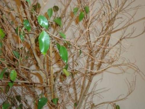 Как спасти фикус Бенджамина сохнут и опадают листья, что делать. Что делать, если фикус Бенджамина сбросил все листья?