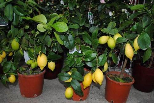 Домашние цитрусовые растения. Оптимальные условия для выращивания