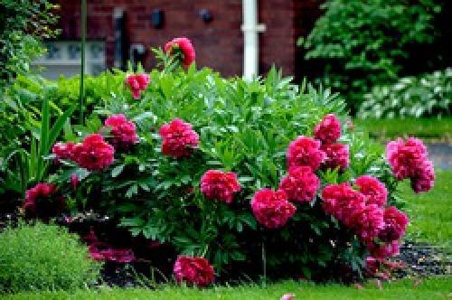 Когда и как рассаживать флоксы и пионы. Как и когда пересаживать пионы после цветения?