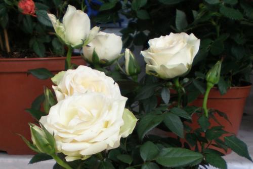 Дикая роза цветок домашний, как ухаживать. Как сохранить комнатную розу после покупки