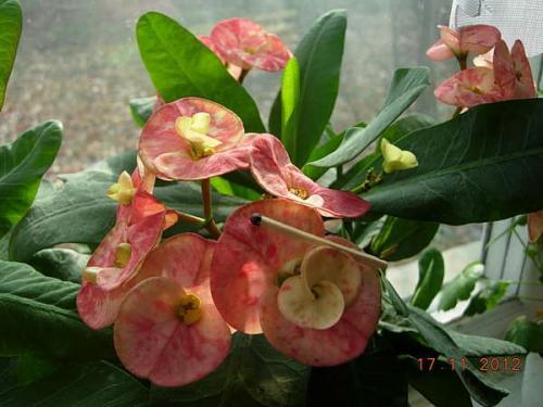 У молочая Миля желтеют и опадают листья. Описание Молочая Миля