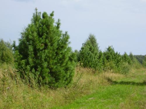 На сколько см в год растет кедр. Кедры (Cedrus) - крупные хвойные деревья, родственники лиственниц.