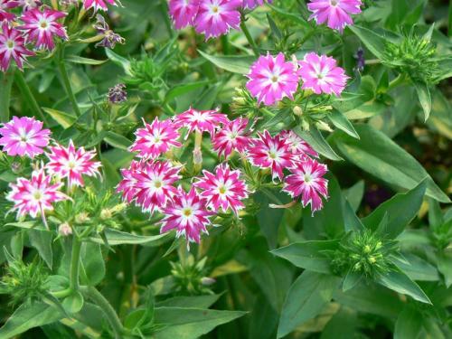 Флокс Друммонда: все о растении