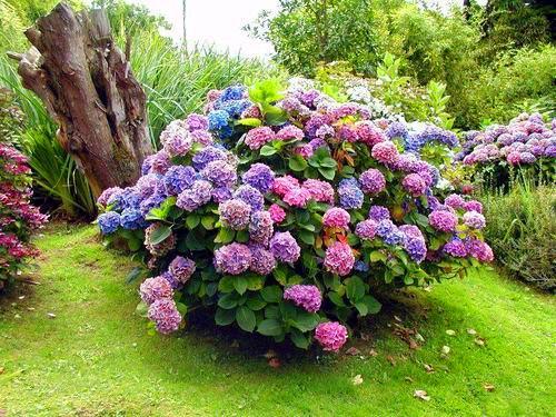 Гортензия комнатная и садовая чем отличается от. Общая характеристика