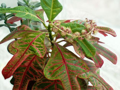 Почему КРОТОН сбрасывает листья, что делать. Часто задаваемые вопросы по выращиванию кротона?