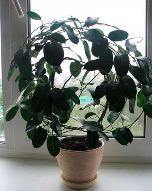 Вянет стефанотис листья мягкие желтеют, что делать. Что делать если у стефанотиса желтеют листья?