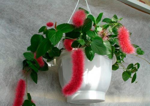 Название комнатных цветов. Ампельные комнатные растения и цветы фото и названия