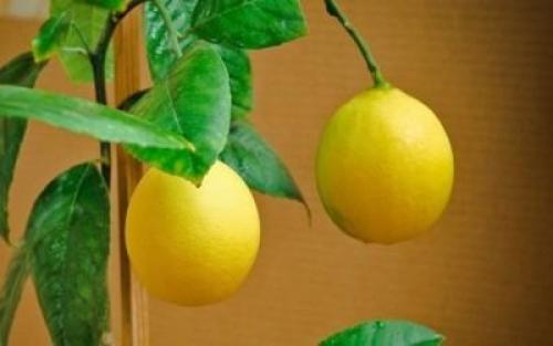 Цитрусовые домашние растения опадают листья, что делать. Как быть, если растение сбрасывает завязи и плоды?