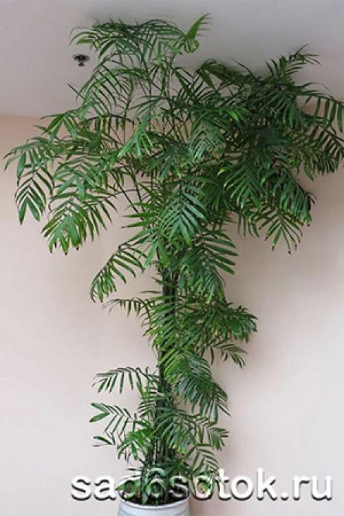 Как вырастить пальму из семян?