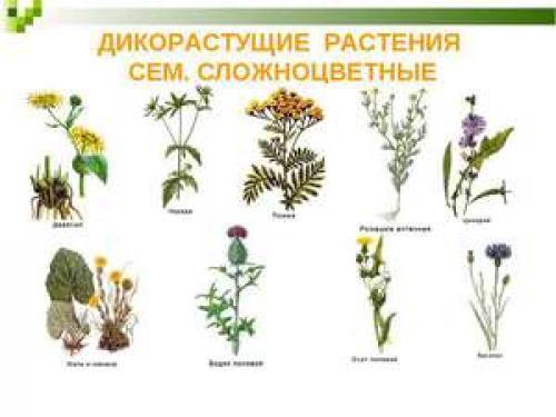 Дикорастущие растения доклад. Дикорастущие растения: описание, особенности и примеры
