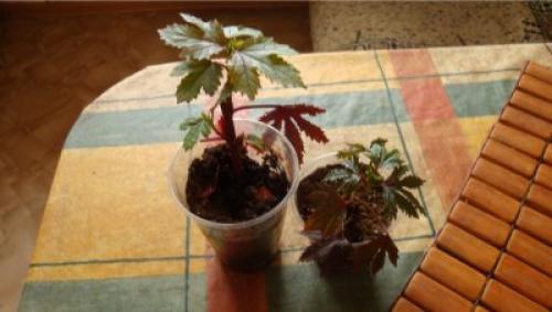 Гибискус кленолистный Махагон выращивание из семян. Уход за гибискусом краснолистным