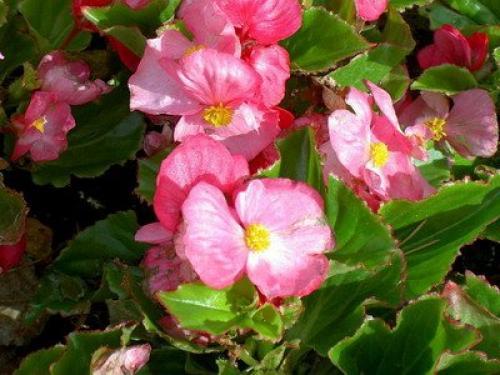 Комнатные растения бегонии вечноцветущие. Болезни и вредители бегонии вечноцветущей