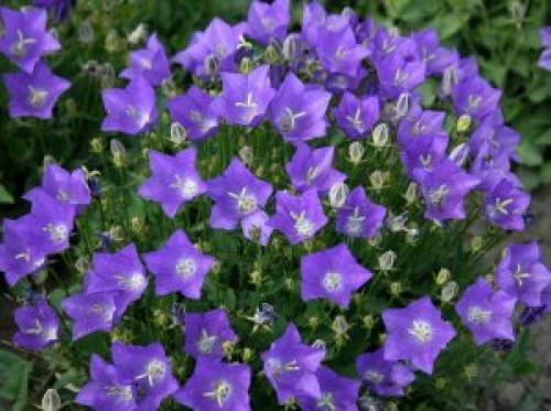 Комнатные цветы похожие на колокольчики название. Колокольчик карпатский