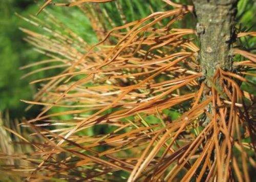 Почему желтеют хвойные деревья. Почему саженцы хвойников желтеют? Причины и методы борьбы