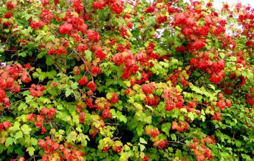 Дикорастущие кустарники для живой изгороди