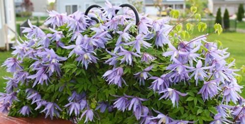Клематис княжик. Декоративное и лечебное растение в вашем саду — княжик