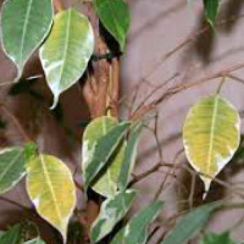 Фикус каучуконосный сбрасывает листья. Почему фикусы сбрасывают листья