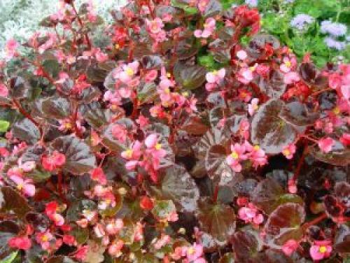 Бегония Вечноцветущая розовая с зеленым листом. Описание вида и сортов