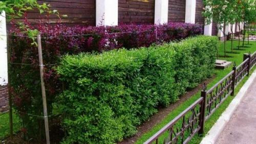 Живая изгородь посадка и уход. Виды живых изгородей и растения для них