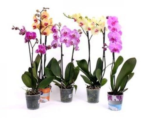 Фаленопсис в вопросах и ответах. Ответы на вопрос: чем отличается фаленопсис от орхидей других родов?
