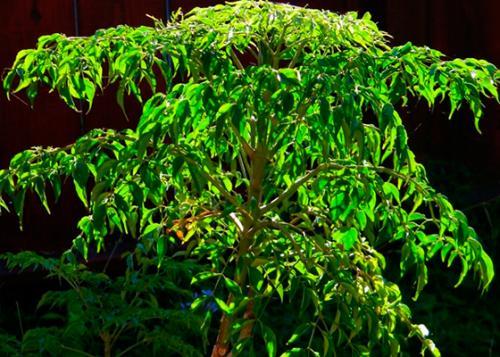 Радермахера почему желтеют и опадают листья. Почему появляется желтизна и начинается листопад?