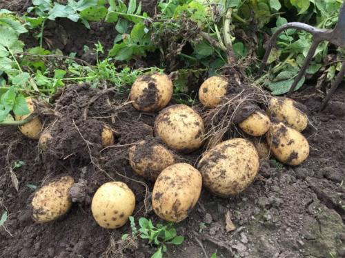 Картофель Адретта форум. Описание сорта картофеля Адретта – характеристика, достоинства и недостатки, отзывы