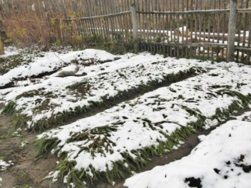 Клубнику готовим на даче в зиму. Зачем укрывать клубнику и всегда ли это нужно