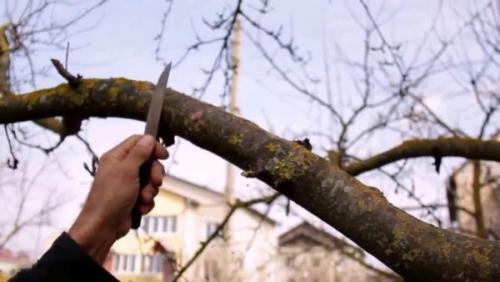 Лишайник на яблоне, как избавиться. Лишайник на яблоне —, как избавиться?