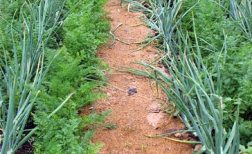 Хвойный перегной для огорода. Отсыпка дорожек