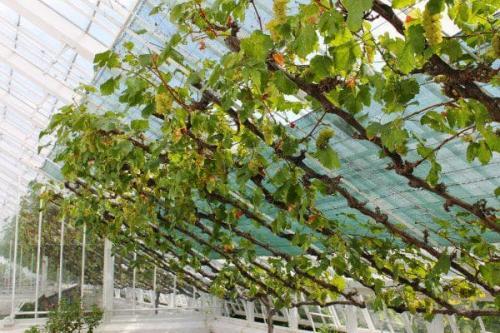Выращивание винограда в теплице из поликарбоната. Требования к теплице