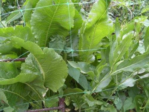 Как вывести хрен с огорода народными средствами. Как избавиться от хрена в огороде навсегда