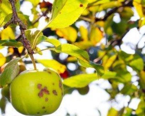 Парша на стволе яблони. Что такое парша?