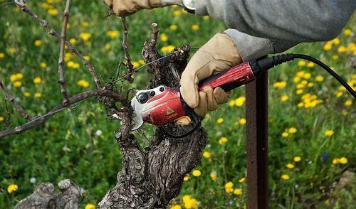 Виноград изабелла в подмосковье уход и посадка