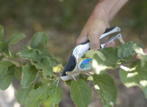 Прививка яблони за кору. Мастер-класс по прививка яблони летом методом окулировки за кору