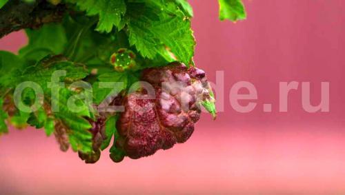 Листья смородины вздулись. Как предотвратить вздутия на листьях смородины