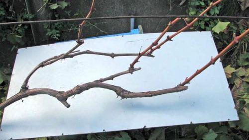 Как осенью обрезать виноград двухлетний. Когда правильно обрезать виноград – летом, осенью или весной и почему