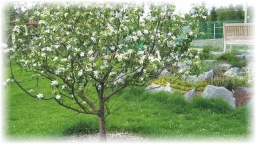 Как утеплить саженец яблони на зиму. Зачем нужно укрыть яблоню?