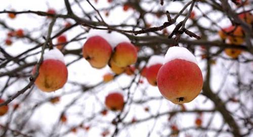 Надо ли поливать яблони на зиму. Для чего нужна осенняя подкормка яблони