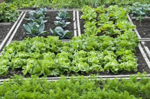 Что растет в тени. Теневыносливые овощные культуры