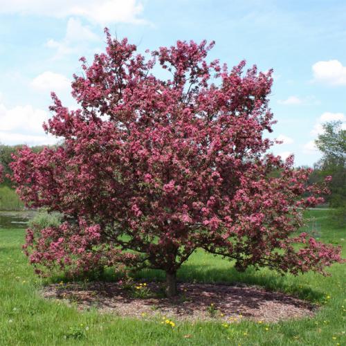 Карликовая декоративная яблоня. Деревья с красными листьями в ландшафтном дизайне