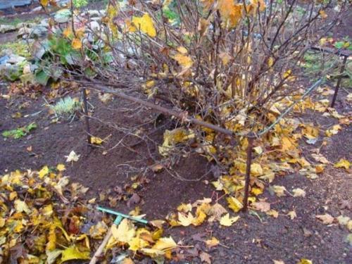 Надо ли поливать смородину осенью. Уход за смородиной осенью и подготовка к зиме