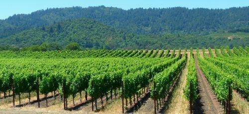 Как растет виноградная лоза. Условия выращивание виноградной лозы