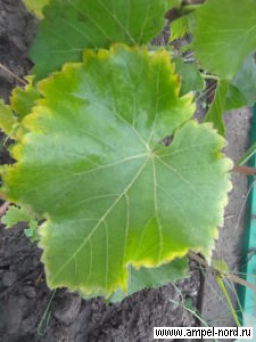Когда поливать осенью виноград. подзимний полив винограда
