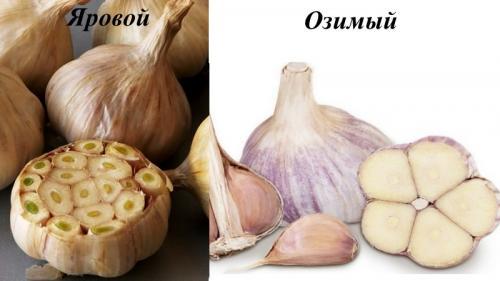 Урожайность чеснока с 1 га в России