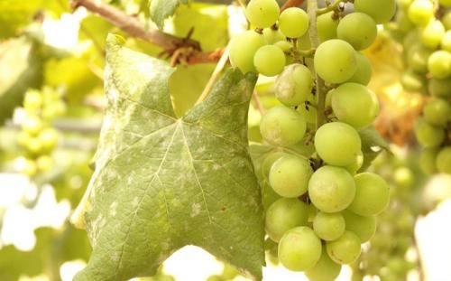 Чем лечить милдью на винограде. Что за болезнь милдью?