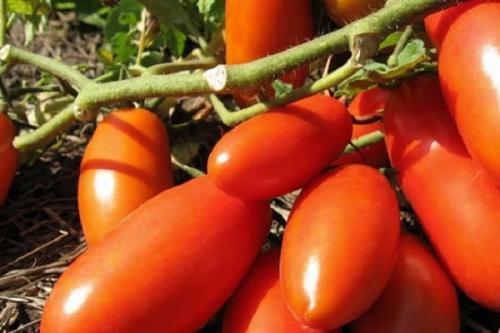 Суперранние сорта томатов для теплиц. Ультраранние томаты